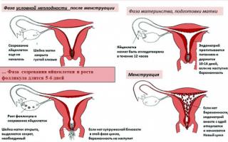Сколько женщина теряет крови во время месячных