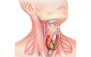 На что влияет щитовидная железа?