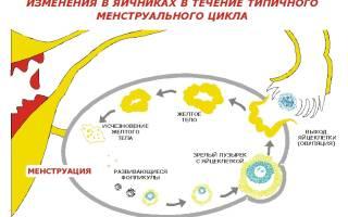 УЗИ фолликулометрия, как правильно делать и на какой день цикла проводится